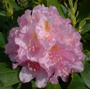 Großblumige Rhododendron Allah 30-40cm - Alpenrose