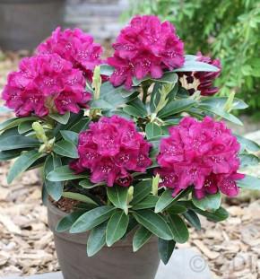 Großblumige Rhododendron Anah Kruschke 40-50cm - Alpenrose