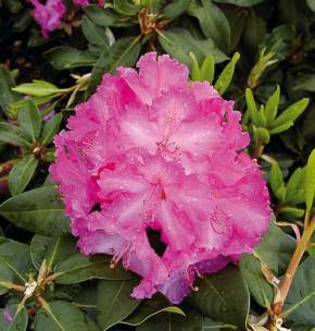 Großblumige Rhododendron Anastasia 30-40cm - Alpenrose