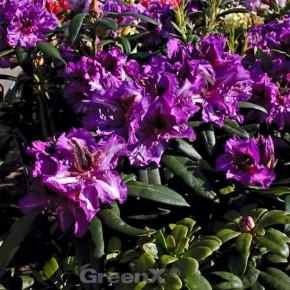 Großblumige Rhododendron Anatevka 30-40cm - Alpenrose