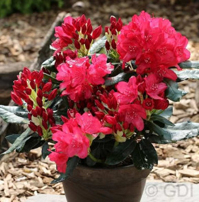 Großblumige Rhododendron Anna Rose Whitney 40-50cm - Alpenrose