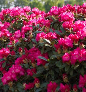 Großblumige Rhododendron Karl Naue 30-40cm - Alpenrose