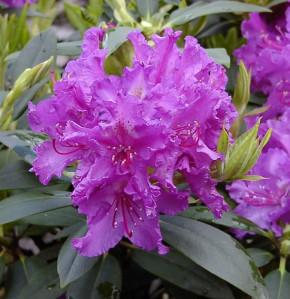 Großblumige Rhododendron Markgraf 30-40cm - Alpenrose