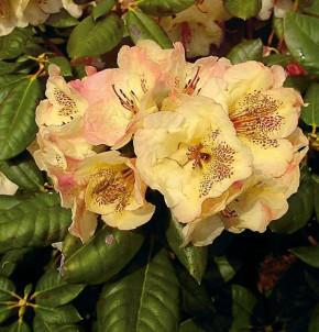 Großblumige Rhododendron Viscy 30-40cm - Alpenrose
