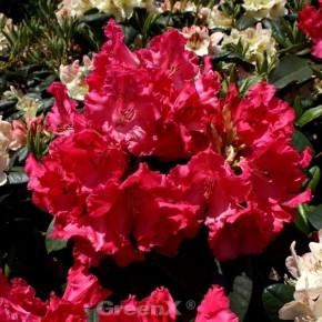 Großblumige Rhododendron Weinlese 30-40cm - Alpenrose