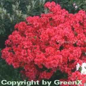 Japanische Azalee Maraschino 40-50cm - Rhododendron obtusum