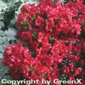 Japanische Azalee Maruschka® 40-50cm - Rhododendron obtusum - Zwerg Alpenrose