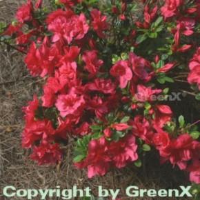 Japanische Azalee Muttertag 50-60cm - Rhododendron obtusum - Zwerg Alpenrose