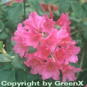 Großblumige Rhododendron August Lamken 30-40cm - Rhododendron williamsianum - Alpenrose