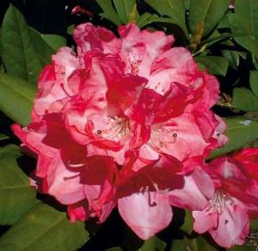 Hochstamm Rhododendron Anuschka 80-100cm - Alpenrose