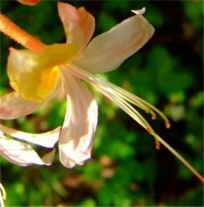 Rhododendron Millie Mac 40-50cm - Rhododendron austrinum