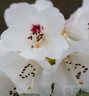 Großblättige Wilde Rhododendron 30-40cm - Rhododendron calophytum