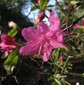 Dahurischer Rhododendron April Rose 25-30cm - Rhododendron dauricum