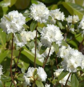 Dahurischer Rhododendron April White 30-40cm - Rhododendron dauricum