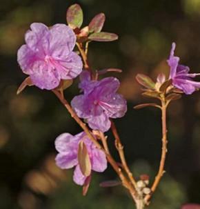 Dahurischer Rhododendron 40-50cm - Rhododendron dauricum