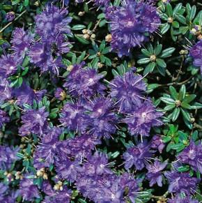 Zwerg Rhododendron Azurika 50-60cm - Rhododendron impeditum - Zwerg Alpenrose