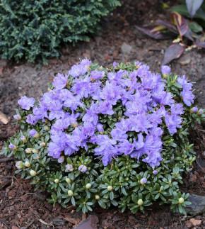 Rhododendron litangense 30-40cm - Rhododendron litangense