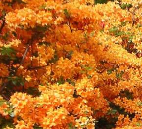 Azalee Arneson Gem 25-30cm - Rhododendron luteum - Alpenrose