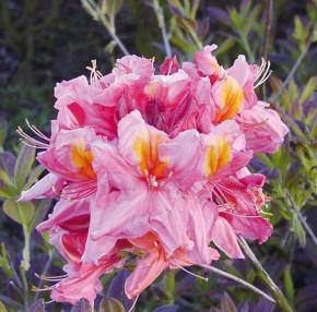 Azalee Berryrose 40-50cm - Rhododendron luteum - Alpenrose