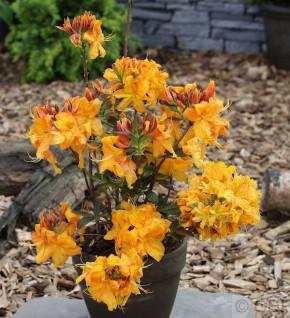 Azalee Double Pleasure 30-40cm - Rhododendron luteum - Alpenrose