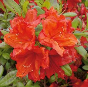 Azalee Feuerwerk 30-40cm - Rhododendron luteum - Alpenrose