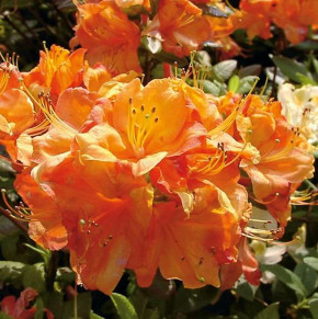 Azalee Glowing Embers 40-50cm - Rhododendron luteum - Alpenrose