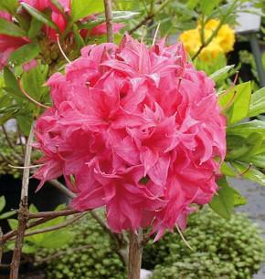 Azalee Homebush 30-40cm - Rhododendron luteum - Alpenrose