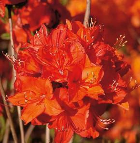 Azalee Parkfeuer 40-50cm - Rhododendron luteum - Alpenrose