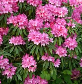 Rhododendron Rosa Perle 50-60cm - Rhododendron makinoi