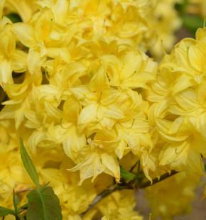 Sommergrüne Azalee Sonnenköpfchen 40-50cm - Rhododendron mixtum