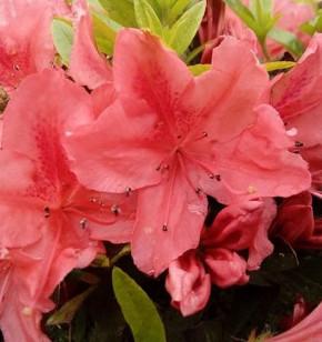 Kriechende Immergrüne Zwerg Azalee Komodo 20-25cm - Rhododendron nakaharai