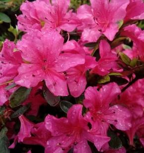 Kriechende Immergrüne Zwerg Azalee Purnululu 50-60cm - Rhododendron nakaharai