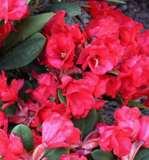 Azalee Burletta 20-25cm - Rhododendron neriiflorum - Alenrose