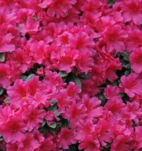 Japanische Azalee Diamant Rosa 30-40cm - Rhododendron obtusum - Zwerg Alpenrose