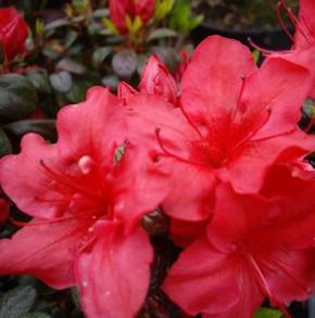 Japanische Azalee Johanna 25-30cm - Rhododendron obtusum - Zwerg Alpenrose