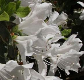 Hochstamm Japanische Azalee Pleasant White 40-60cm - Rhododendron obtusum - Zwerg Alpenrose