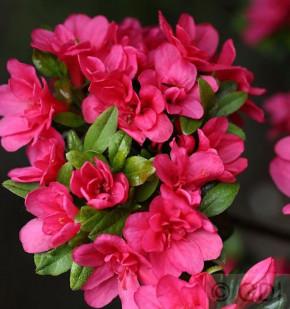 Japanische Azalee Änne 20-25cm - Rhododendron obtusum