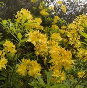 Azalee Anneke 25-30cm - Rhododendron luteum - Alpenrose