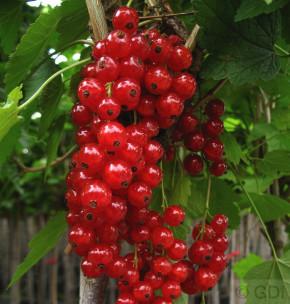Hochstamm Rote Johannisbeere Jonkheer van Tets 60-80cm - Ribes rubrum