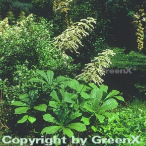 Kastanienblättriges Schaublatt - Rodgersia aesculifolia