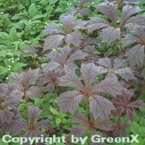 Gestieltblättriges Schaublatt Rotlaub - Rodgersia podophylla