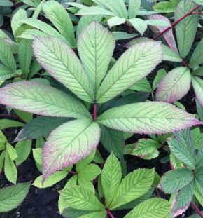 Holunderblättriges Schaublatt Rothaut - Rodgersia sambucifolia