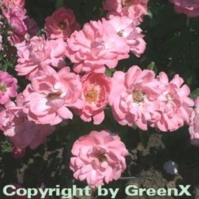 Bodendeckerrose Blühwunder 20-30cm