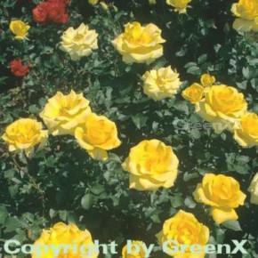 Floribundarose Goldquelle® 30-60cm