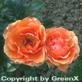 Edelrose Ashram® 30-60cm