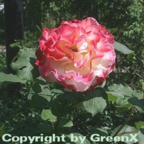 Edelrose Double Delight® 30-60cm