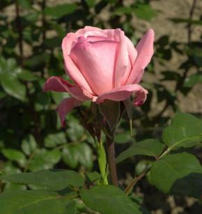 Duftrose Arioso 30-60cm