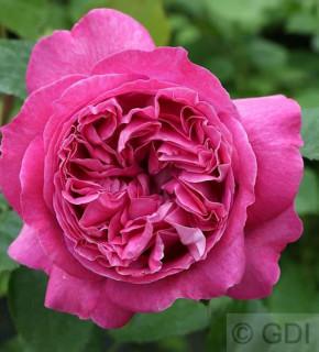 Edelrose Bernadette Lafont® 30-60cm