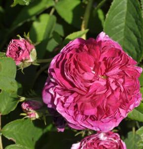 Historische Rose Charles de Mills 30-60cm