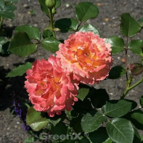 Floribundarose Easy does it® 30-60cm
